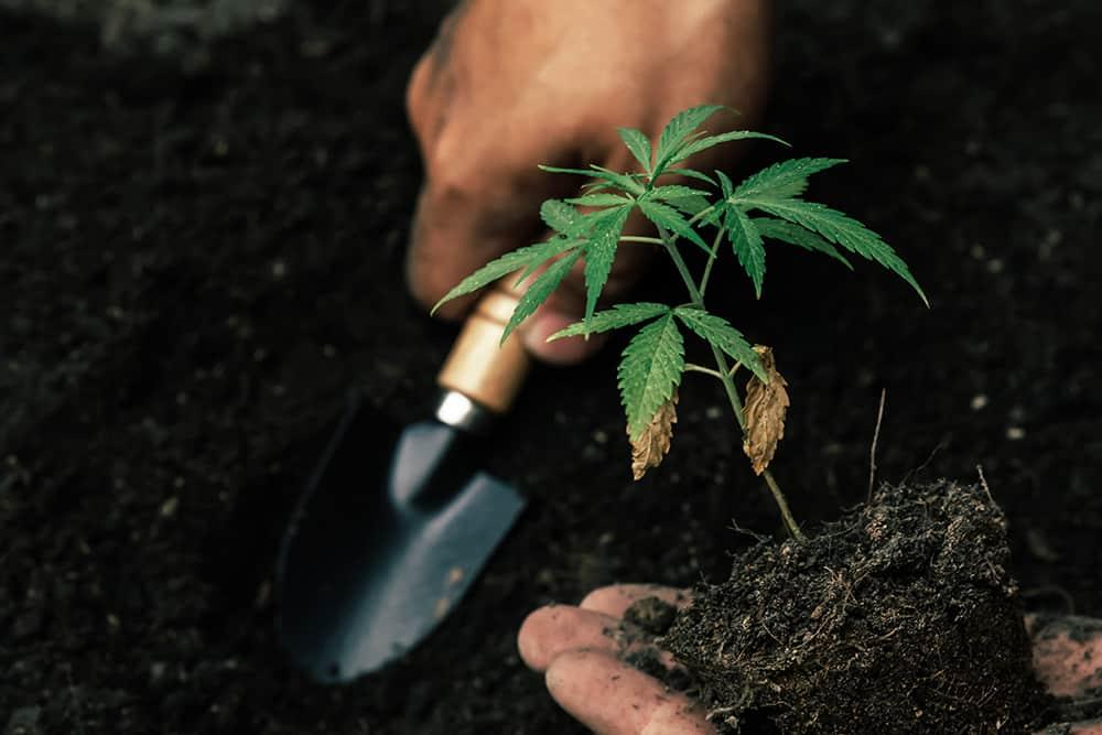 A person gardening ancient cannabis.