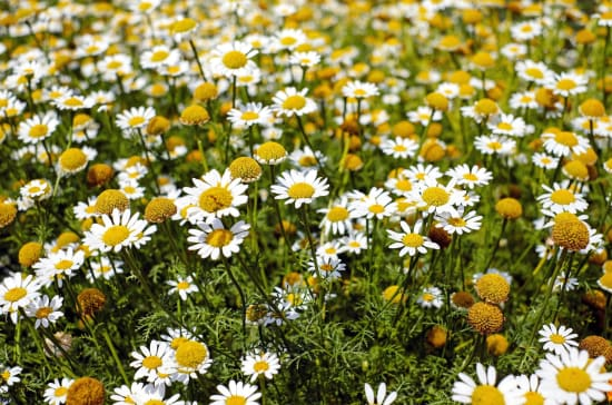 A field of white and yellow chamomile flowers