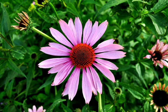 A brilliant pink and purple echinacea flower sits in a green field