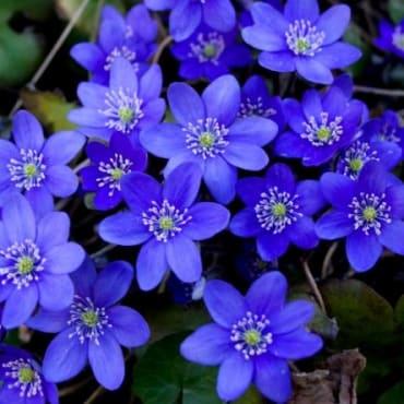 Para mi tristeza violeta azul, clavelina roja pa' mi pasión