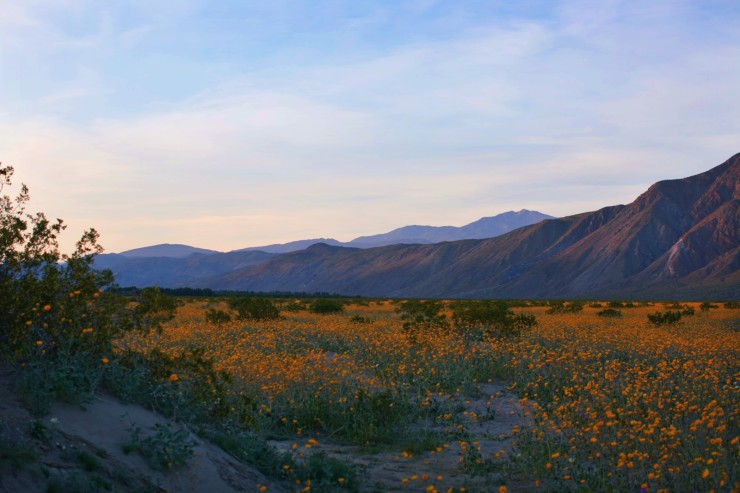Borrego Springs California Superbloom field of flowers. Festival and Rave inspiration scenery
