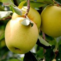 Golden Delicious Apples A...