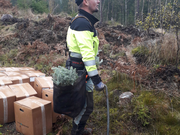 How forest trees are planted manually in Sweden