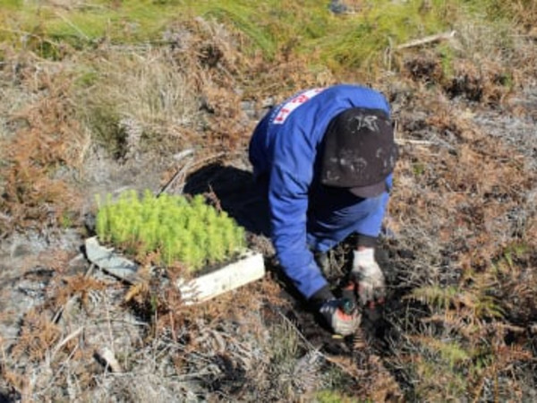 Manual planting of forest pine seedlings