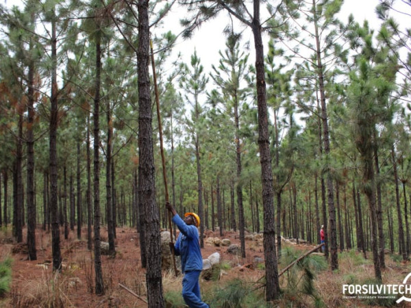 Low and high pruning in pine plantation forests