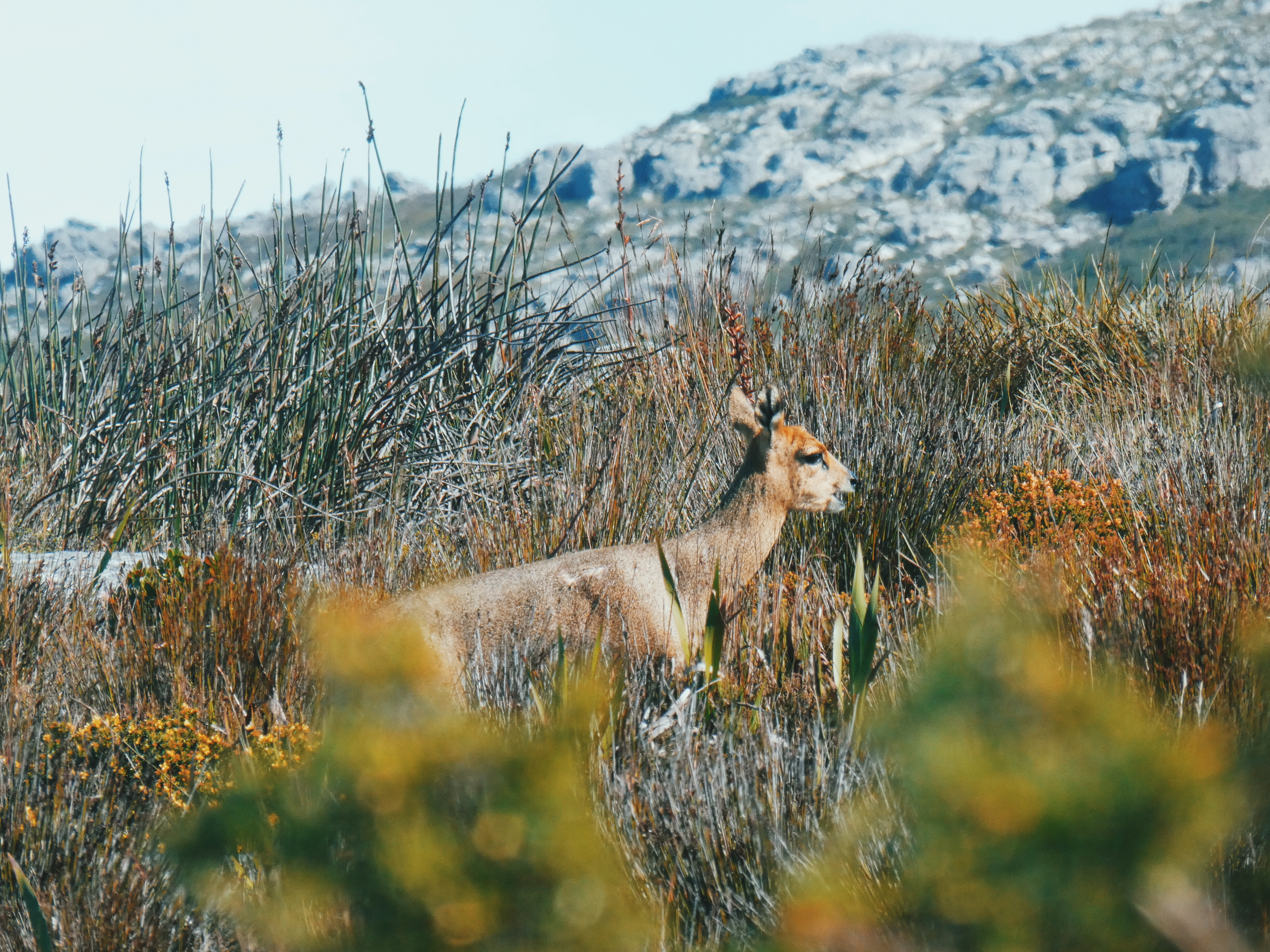 Steenbok on Table Mountain