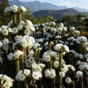 Cactus flowers in de Rust