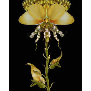 Flora mantodea