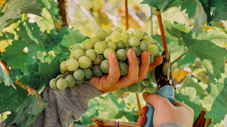 Biodynamic Sauvignon Blanc grapes
