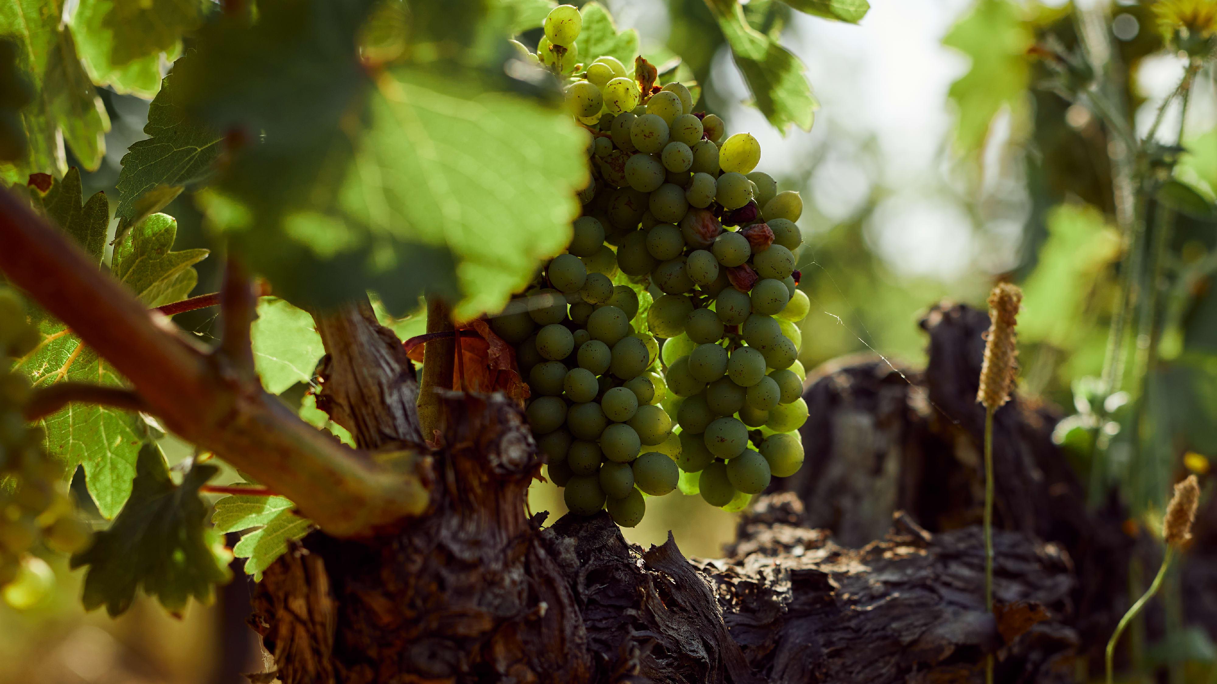 Why Winemakers Love Chenin Blanc