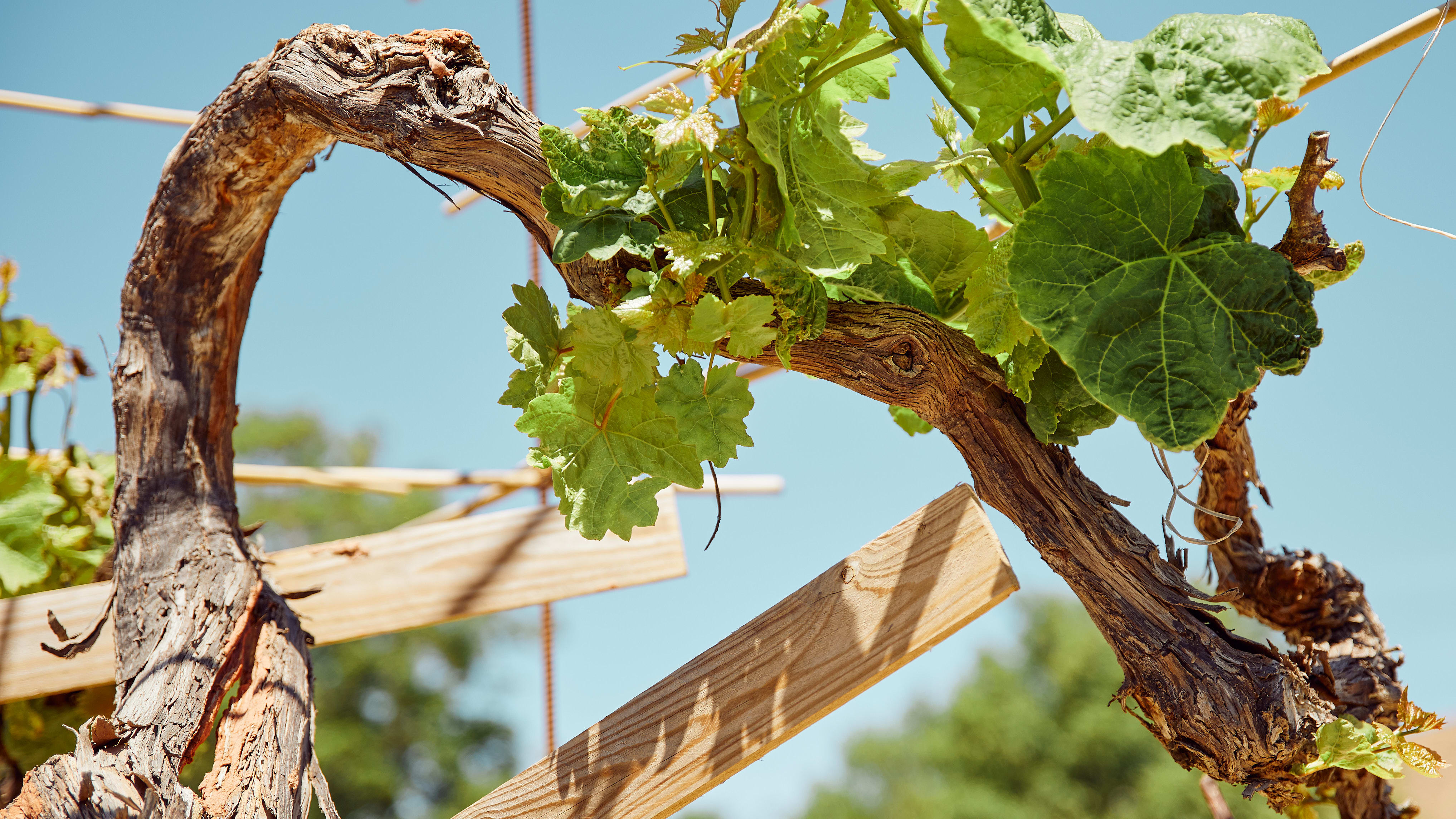 Do Old Vines Produce Better Wine?
