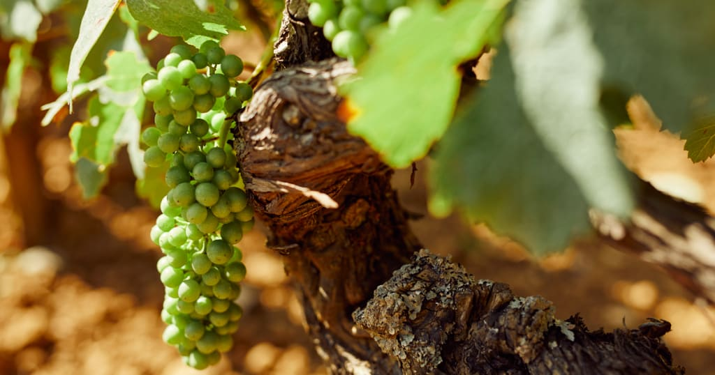 old vines produce better wines