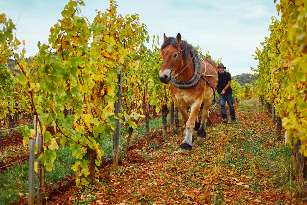 biodynamic growers employ the use of horses in the winemaking process