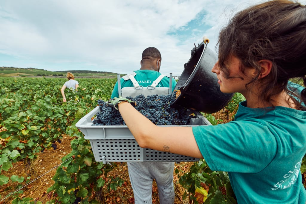 hand harvesting is an important facet of biodynamic winemaking