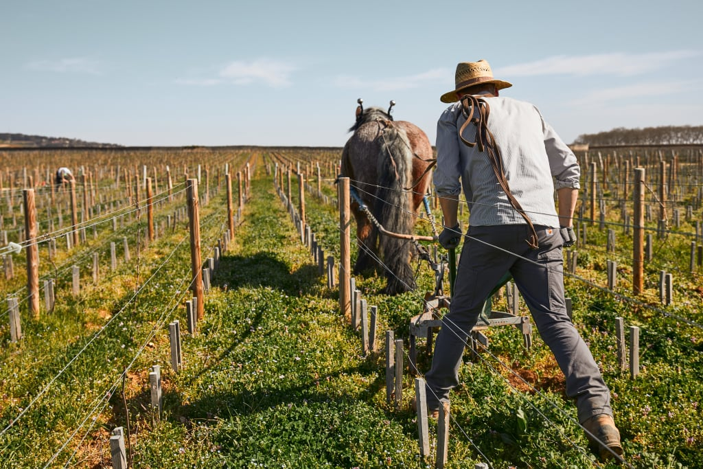 In biodynamic winemaking, horses can be used to plow the soil and suppress weeds.