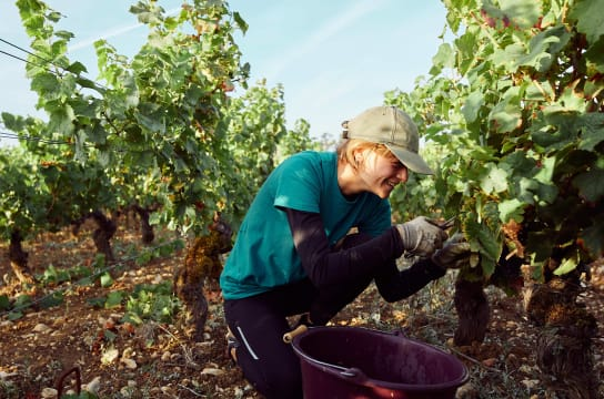 pruning is a crucial step in the winemaking process