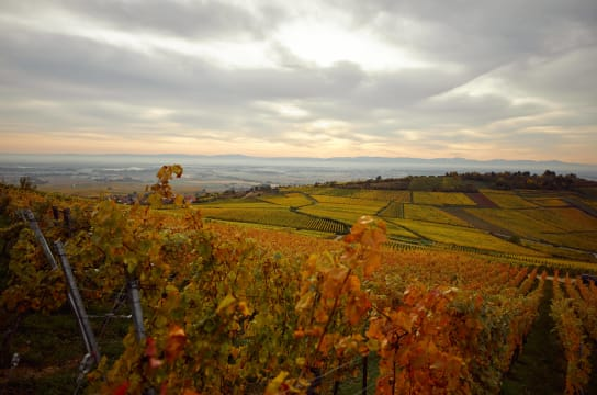 Riesling is one of the grape varieties in the wine region of Alsace, France