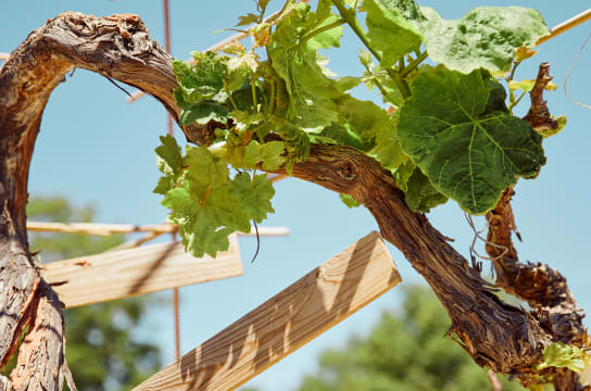 old vines do produce better wines.