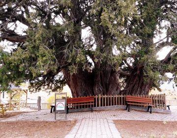 1000 Yıllık Anıt Ağaç
