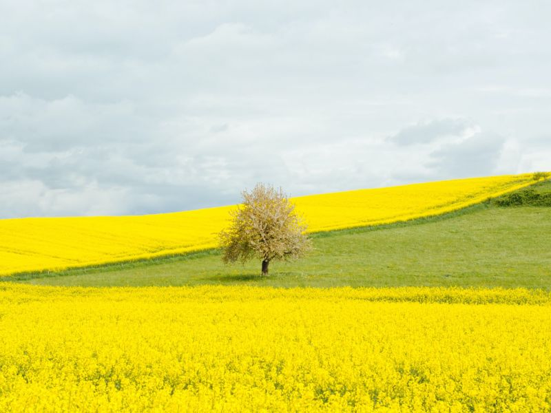 Ein Feld mit vielen gelben Blumen und grüner Wiese, auf dem unter grauen Wolken, einsam ein beigefabener Baum steht.