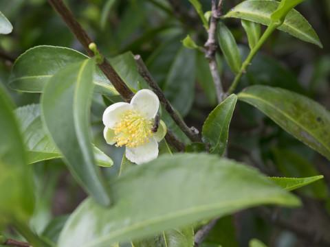 pixabay_tea-flower-2579512