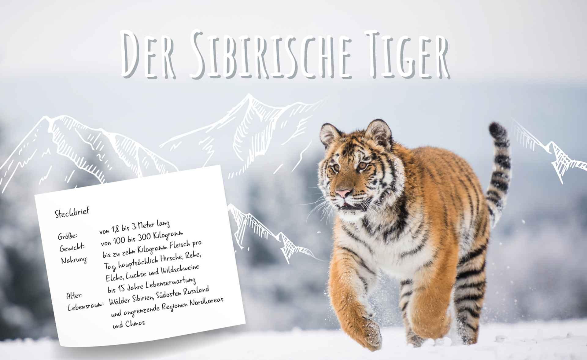 steckbrief_sibirischer_tiger