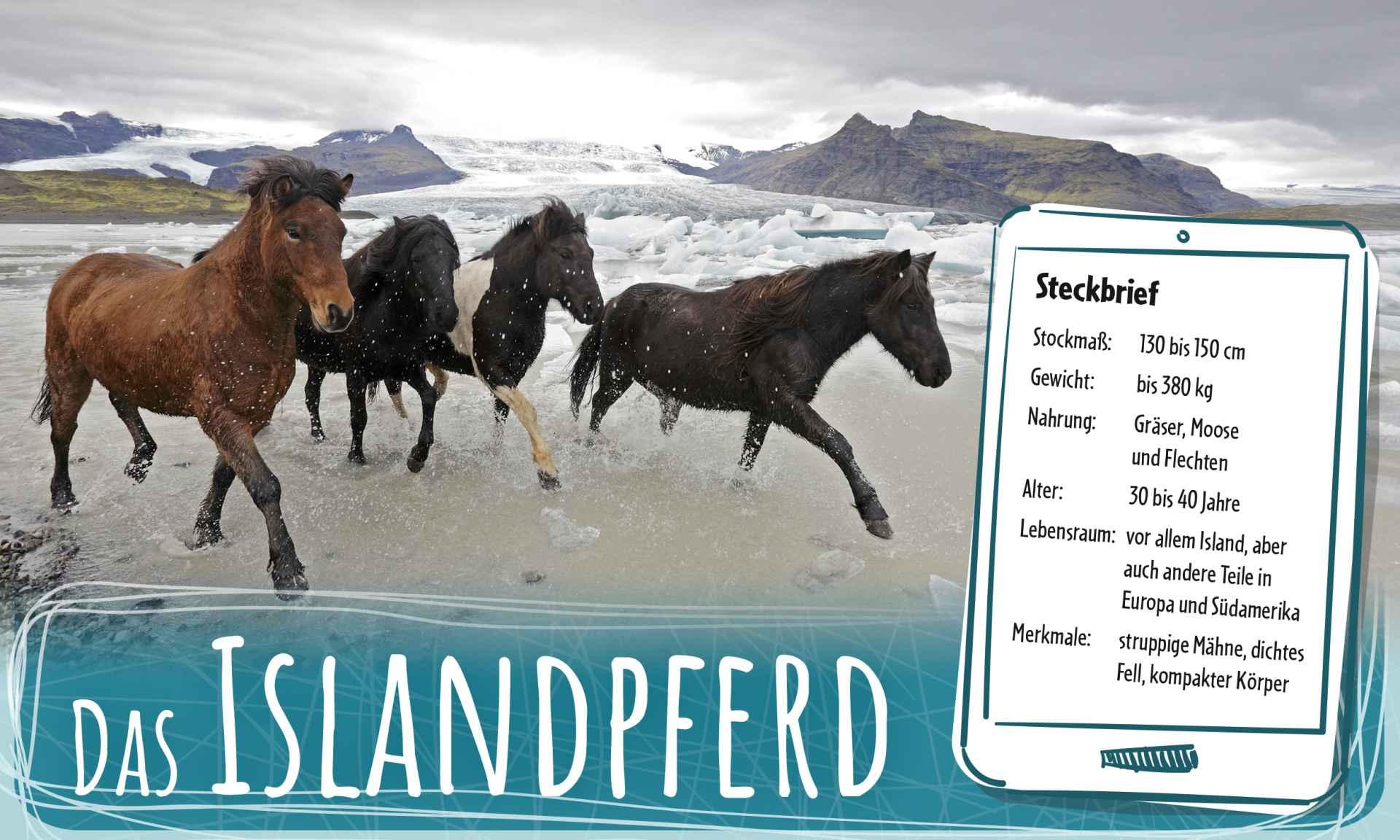 islandpferd_teaser