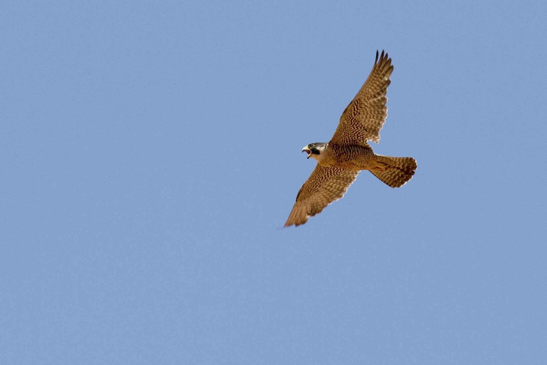 peregrine-falcon-1921799