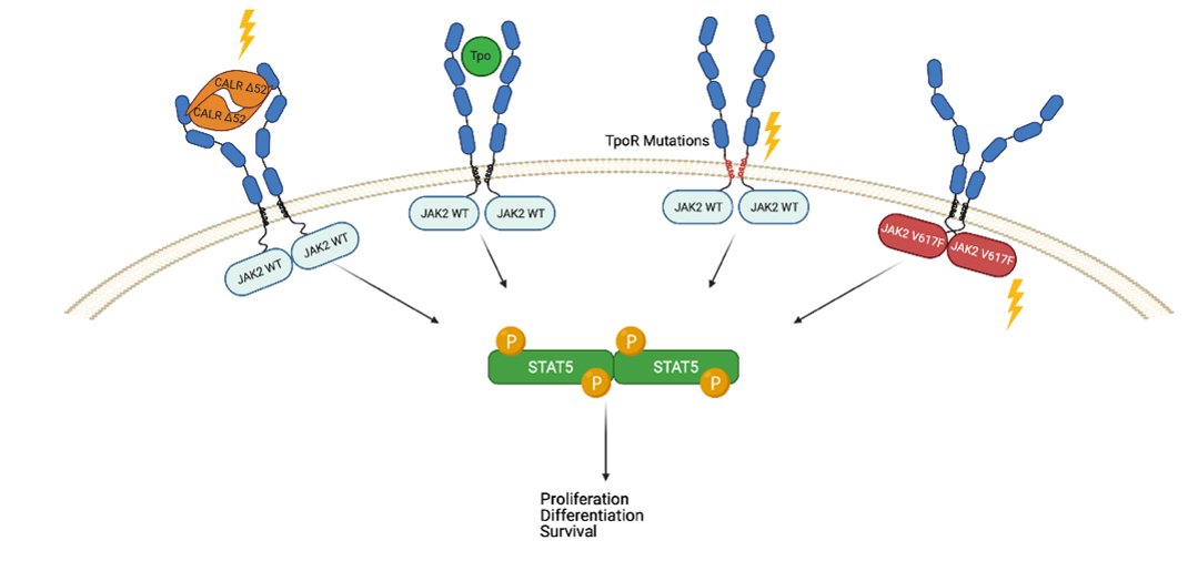 Figure 2. Mutations in MPNs. The hallmark of myeloproliferative neoplasms (MPNs) is the acquisition of somatic mutations in haematopoietic stem cells that lead to persistent phosphorylation (P) and activation of JAK2-STAT5. The most prevalent mutation in MPNs is JAK2 V617F which activates signalling from homodimeric receptors TpoR (right) and also EpoR and GCSFR (not shown). The second most prevalent mutations are calreticulin mutations that induce persistent pathologic activation of TpoR (left). The third type of mutations in MPNs are mutations in TpoR (c-MPL) itself around the transmembrane/juxtamembrane domains (S505N and W515K/L/R/A), which induce persistent activation of JAK2. These mutants allow myeloid progenitors to survive, proliferate and differentiate in the absence of cytokines.