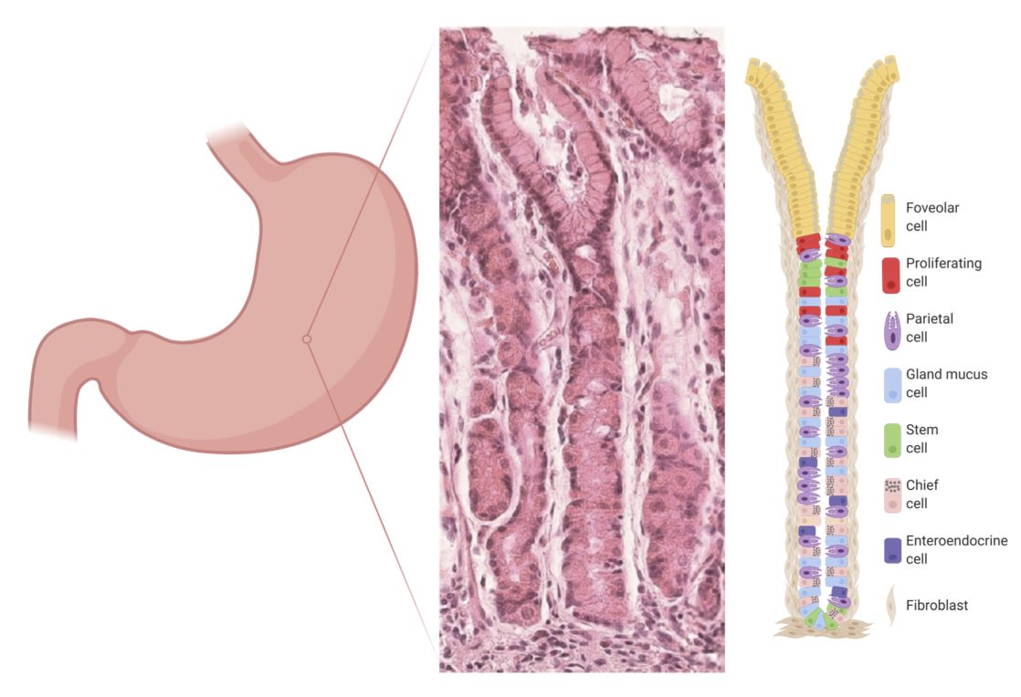 Cross section of the stomach lining showing a gastric gland with different cell types that make up the epithelium. What causes stem cells to differentiate into these different cells is the focus of the Boccellato lab.