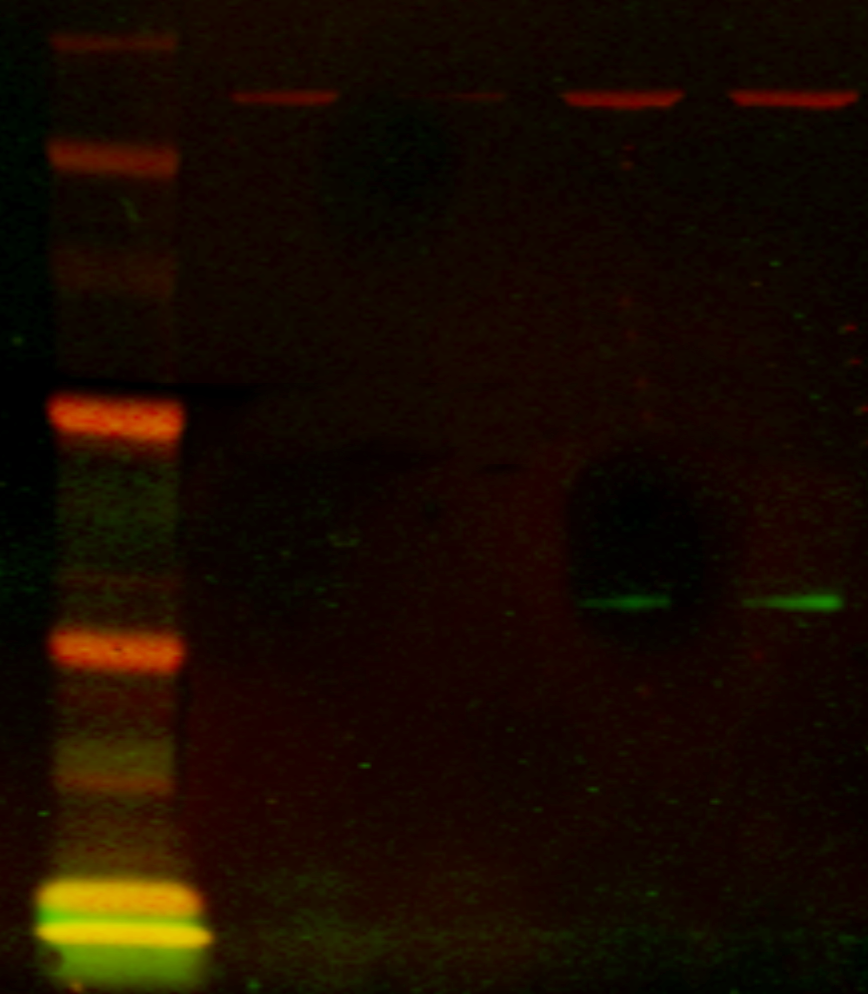 2-colour Infrared Western-Blot of lowly expressed proteins