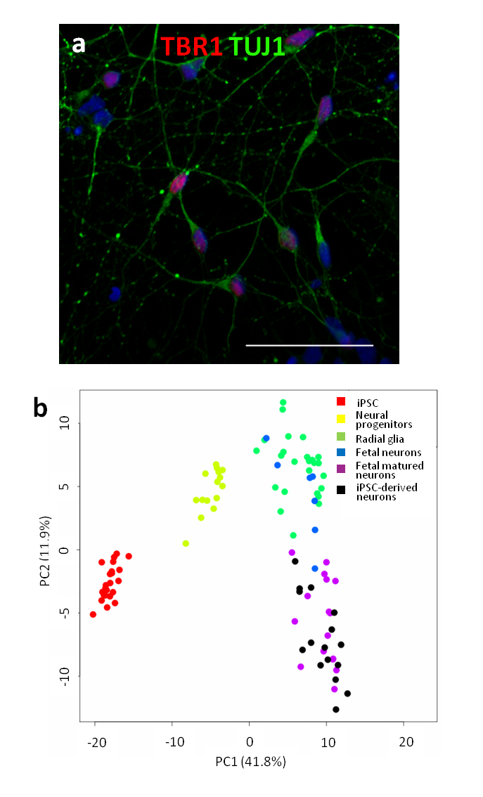 (a) Immunofluorescence microscopy images showing TUJ1 (green) and TBR1 (red), scale bar = 50µm; (b) Principal component analysis of single cell RNA-seq data from iPSC-derived cortical neurons (black), iPSCs (red), neural progenitors (yellow), fetal radial glia (green), fetal newborn cortical neurons (blue), fetal matured cortical neurons (purple) showing that iPSC-derived cortical neurons closely resemble primary human fetal neurons. Comparison data from Pollen et al. (PMID 25086649).