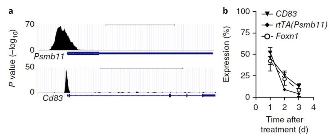 (a) Foxn1 ChIP-seq binding profiles in TEC around two novel Foxn1 gene targets, Psmb11 and Cd83, which are critical in thymopoiesis. (b) Relative expression of Psmb11 and Cd83 after doxycyline-induced excision of Foxn1 in TEC.