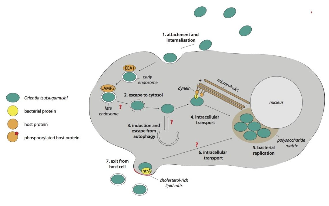 The intracellular life cycle of Orientia tsutsugamushi. Modified from Salje, J. PLoS Pathogens, 2017