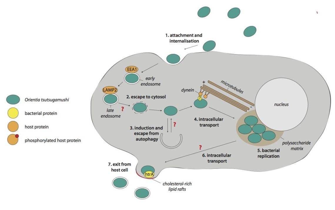 The intracellular life cycle of Orientia tsutsugamushi. Modified from Salje, J. PLoS Pathogens, 2017