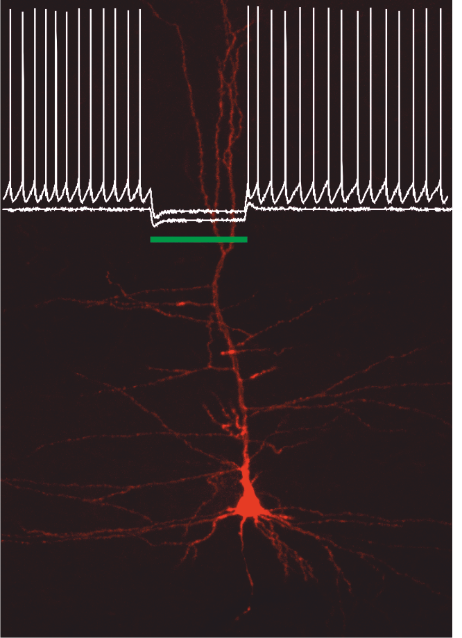 Layer V neuron in the motor cortex expressing the outward proton pump ArchT, before, during and after silencing its firing with green light.