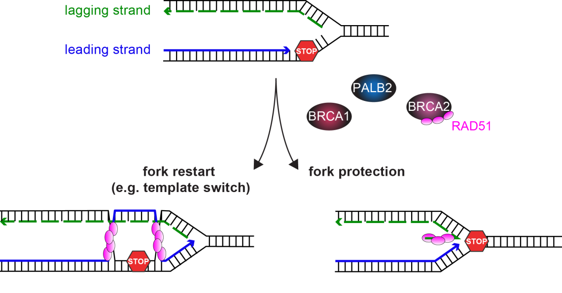 Roles of BRCA1 and BRCA2 on stalled replication forks.