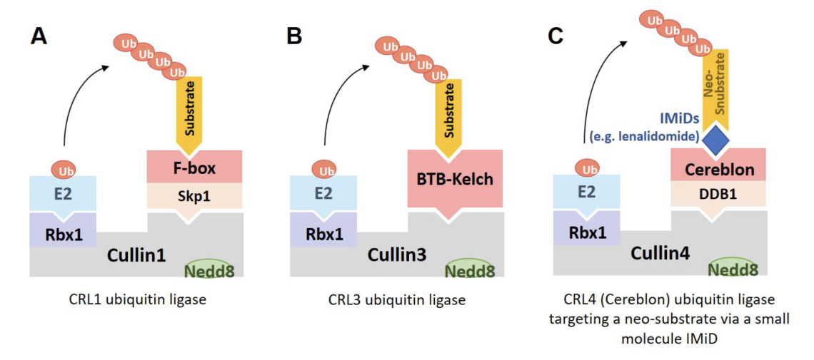 """(A) CRL1 ubiquitin ligase complexes are perhaps the best known examples and bind their substrates via an F-box containing subunit. D'Angiolella and his laboratory discovered functions of cyclin F (FBXO1), the founding member of the F-box family of Cullin-RING ubiquitin ligases. (B) BTB-Kelch proteins assemble into CRL3 ubiquitin ligase complexes in which the BTB domain binds to Cullin3 and the Kelch domain forms the substrate recognition domain. (C) Some Cullin-RING ubiquitin ligase subunits, such as Cereblon are bound by """"molecular glue"""" drugs (e.g. lenalidomide) that enable the recruitment of neo-substrates (e.g. Ikaros) for ubiquitylation. Similarly, bifunctional small molecule PROTAC drugs can bind to the E3 ligase VHL to recruit neo-substrates (e.g. oncoproteins) for ubiquitylation and degradation ."""