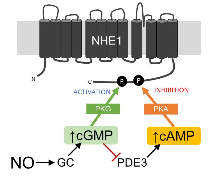 From Nitric oxide modulates cardiomyocyte pH control through a biphasic effect on sodium/hydrogen exchanger-1.  Cardiovasc Res. 2020 Oct 1;116(12):1958-1971. DOI:10.1093/cvr/cvz311