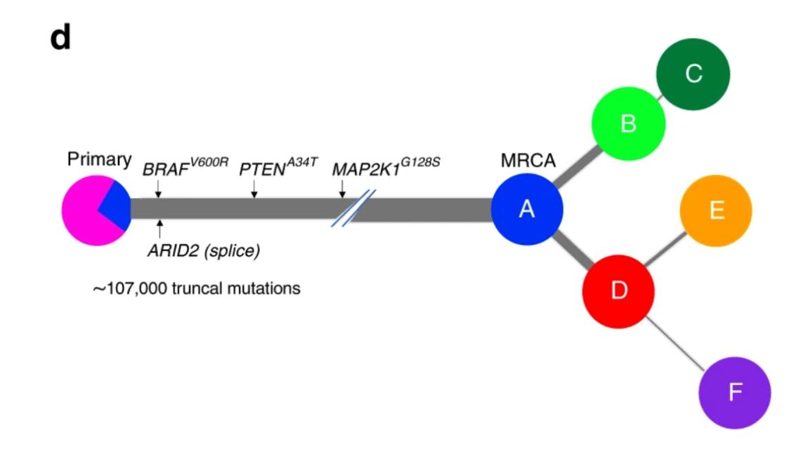 Melanoma tumour phylogeny (Rabbie & Ansari-Pour et al. 2020)