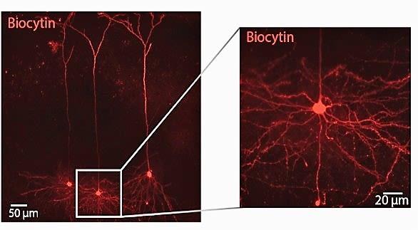 Barrel Cortex L4 biocytin filled excitatory cells