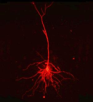 Barrel Cortex L4 Excitatory Cell