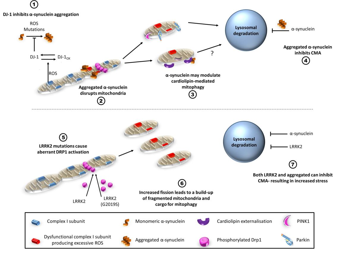 Roles of alpha-synuclein and LRRK2 in mitophagy