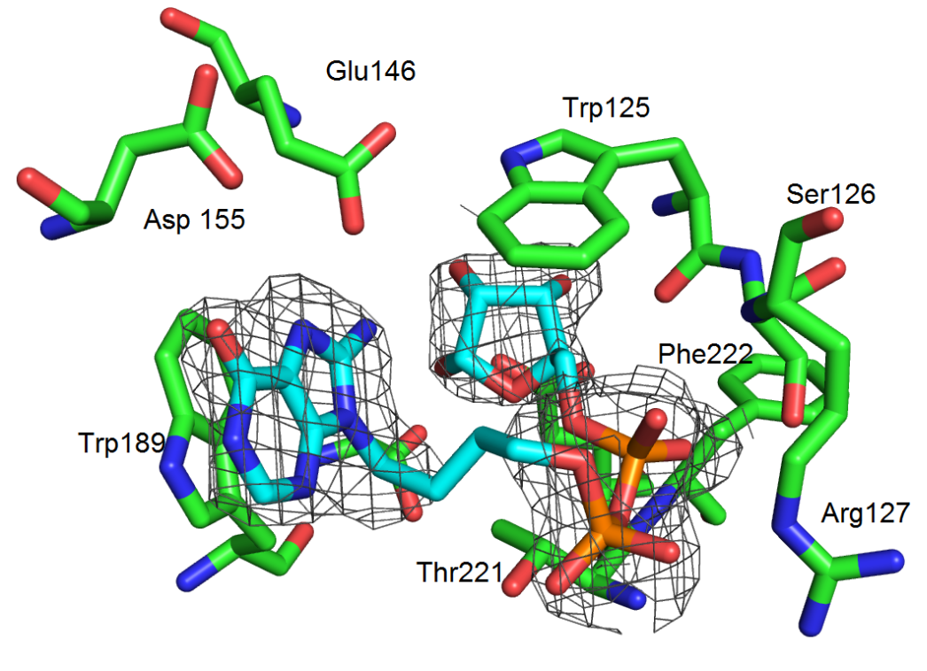 Crystallography of a synthetic cADPR analogue bound to CD38 reveals more about the CD38 mechanism of ligand hydrolysis.