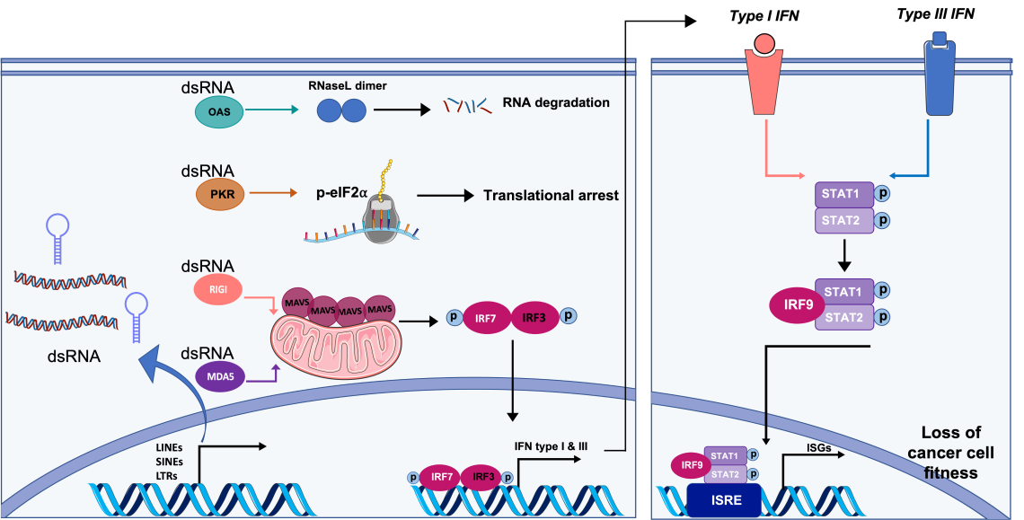 Figure: Tumour antiviral sensing pathway or viral mimicry. During viral infection, dsRNAs accumulate due to viral replication and can be detected by dsRNA-binding proteins, RIG-I, MDA5, PKR and OAS (left panel). Activation of RIG-I like receptors, MDA5 and RIG-I induce Type I/III IFNs. Protein kinase R (PKR) activation results in phosphorylation of eukaryotic initiation translation factor 2-⍺ (eIF2⍺) and inhibition of protein synthesis.  Upon binding of an interferon-inducible enzyme, oligoadenylate synthase (OAS), to dsRNA, RNase L is homodimerized and act as an endoribonuclease to degrade RNA. In cancer cells, drugs targeting epigenetic modifiers that are involved in silencing repeat elements (e.g. LINEs, SINEs, LTRs), result in the activation of dormant repeat elements and formation of dsRNAs with various configurations (left). These endogenous dsRNAs mimic a viral infection and can be recognized by cytoplasmic pattern recognition receptors, such as MDA5, leading to induction of type I/III interferons and subsequent activation of interferon stimulated genes (right panel) (ISGs) with interferon-stimulated response elements (ISREs). Activation of the interferon response pathway is associated with loss of cancer cell fitness. The figure was created by smart.servier.com.