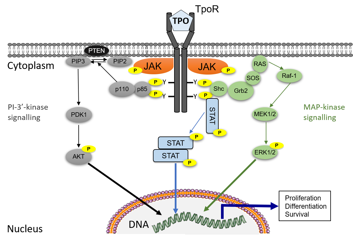 Figure 1. Signalling by a prototypic cytokine receptor. The thrombopoietin receptor (TpoR) is physiologically activated by its ligand Tpo. Dimerisation induced by Tpo leads to reciprocal activation of JAK2 tyrosine kinases which phosphorylate (P) cytosolic receptor tyrosines (Y). In turn those attract STAT proteins that become substrates of JAK2, leading to dimers of tyrosine phosphorylated STATs being translocated into the nucleus to regulate gene expression related to proliferation, differentiation and survival. In addition to STATs, the adaptors Shc/Grb2 and p85/p110 that connect receptors to the MAP-kinase (green, right) and PI-3'-kinase (grey, left) pathways, respectively, are bound to tyrosine phosphorylated receptors. The combination of signalling pathways being activated by JAK2 induce survival, proliferation and differentiation of myeloid progenitors.
