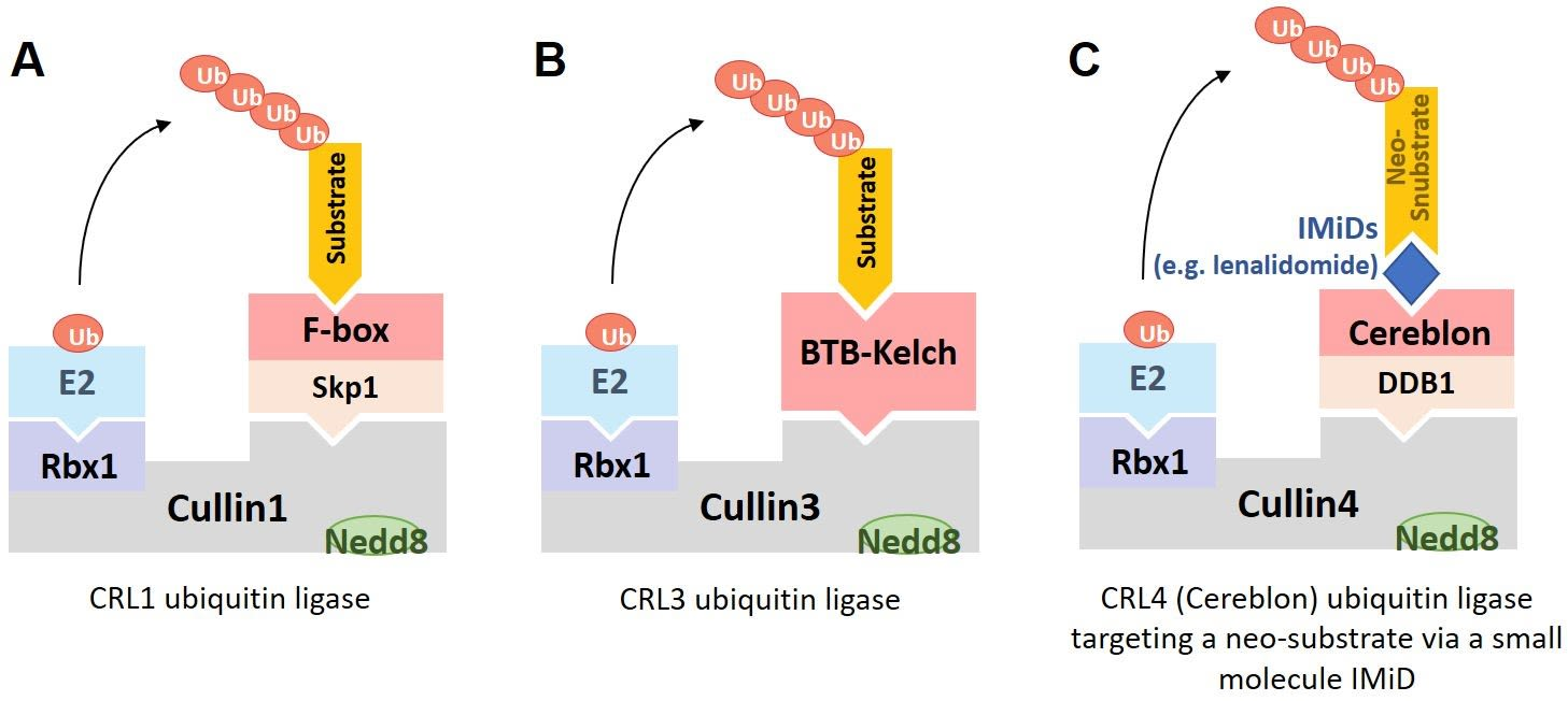 """Figure 1. The modular architectures of Cullin-RING E3 Ligases (CRLs). (A) CRL1 ubiquitin ligase complexes are perhaps the best-known examples and bind their substrates via an F-box containing subunit. D'Angiolella discovered the function of cyclin F (FBXO1), the founding member of the F-box family of Cullin-RING ubiquitin ligases. (B) BTB-Kelch proteins, such as KBTBD4, assemble into CRL3 ubiquitin ligase complexes in which the BTB domain binds to Cullin3 and the Kelch domain forms the substrate recognition domain. (C) Some Cullin-RING ubiquitin ligase subunits, such as Cereblon are bound by """"molecular glue"""" drugs (e.g. lenalidomide) that enable the recruitment of neo-substrates (e.g. Ikaros) for ubiquitylation."""