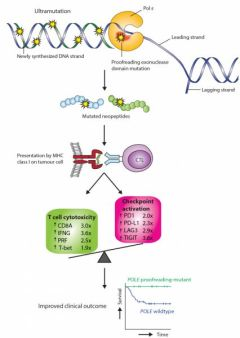 Possible mechanism linking POLE proofreading mutation, immune response and favourable endometrial cancer prognosis
