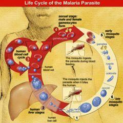 malaria-lifecycle.jpg