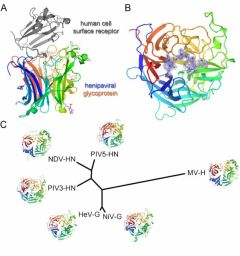 Molecular specificity which underlies receptor-mediated cross-species transmission of a pathogenic henipavirus